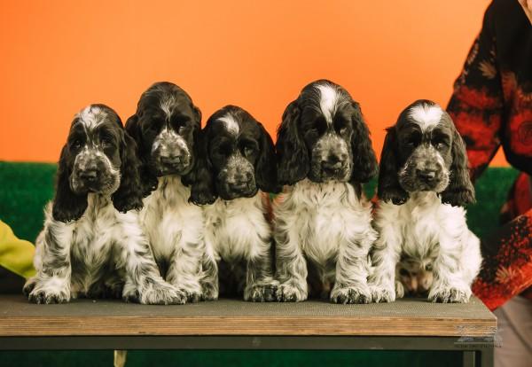 Осмотр щенков: новая программа для заводчиков
